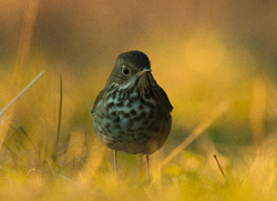 Catharus guttatus - Cortes Island Thrush photo