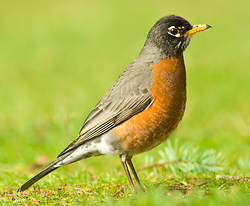 Male American Robin - Cortes Island Thrush photo