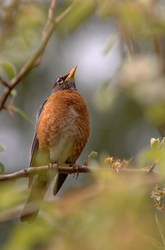 Robin in a Pear Tree - Cortes Island Thrush photo