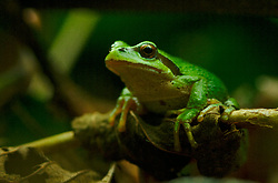 Pacific Tree Frog Portrait II ~ Tree Frog picture from Cortes Island Canada.