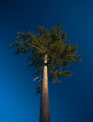 Tall Fir - Cortes Island Tree photo