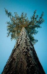 Looking Up - Cortes Island Tree photo