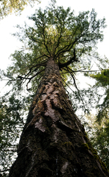 Douglas Fir - Cortes Island Tree photo