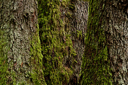 Three Giants - Cortes Island Tree photo
