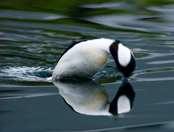 Jumping Buffleheads What Was That!? ~ Duck picture from Vancouver Canada.
