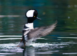 Hooded Merganser -  Merganser photo