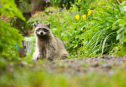 A Raccoon in the Back Garden ~ Raccoon picture from Vancouver Canada.