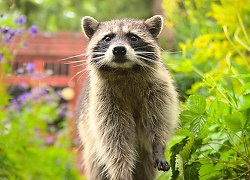 A Raccoon in the Back Garden II ~ Raccoon picture from Vancouver Canada.