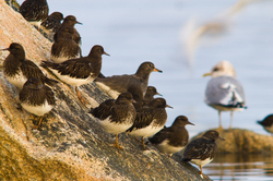 Black Turnstones - Cortes Island Wading Bird photo