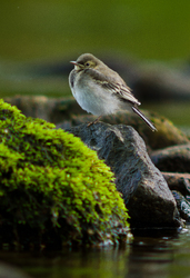 Baby White Wagtail - Aillevillers Wagtail photo