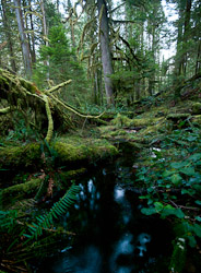 Grandfather Grove - Cortes Island Wetland photo