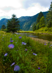 Ahta River Wildflowers - Bond Sound Wilderness photo