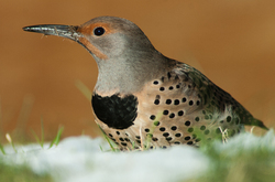 Northern Flicker in Snow - Cortes Island Woodpecker photo