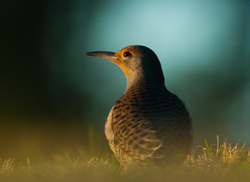 Northern Flicker Portrait - Cortes Island Woodpecker photo