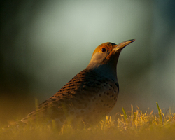 Northern Flicker - Cortes Island Woodpecker photo