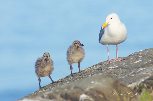 Seagull Family ~ Baby Bird Photo from Mitlenatch Island Canada.