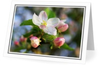 Apple Blossoms - Flower photo from  Aillevillers Haute-Saone, France