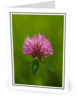 Purple Clover - Wildflower photo from  Aillevillers Haute-Saone, France