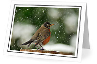 Robin in Falling Snow - American robin photo