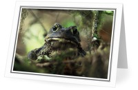 Western Toad - Western Toad photo from  Bond Sound British Columbia, Canada
