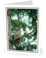 Barred Owl - Barred Owl photo from Smelt Bay Cortes Island BC, Canada