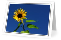 Sunflower - Flower photo from  Cortes Island BC, Canada