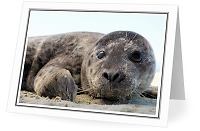 Baby Harbour Seal - Harbour Seal photo from  Cortes Island British Columbia, Canada