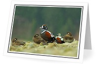 Harlequin's in the Rain - Harlequin Duck photo from  Cortes Island British Columbia, Canada