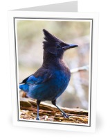 Steller's Jay - Jay photo from  Cortes Island BC, Canada