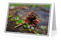 A Little Pine Cone - Nature Still Life photo