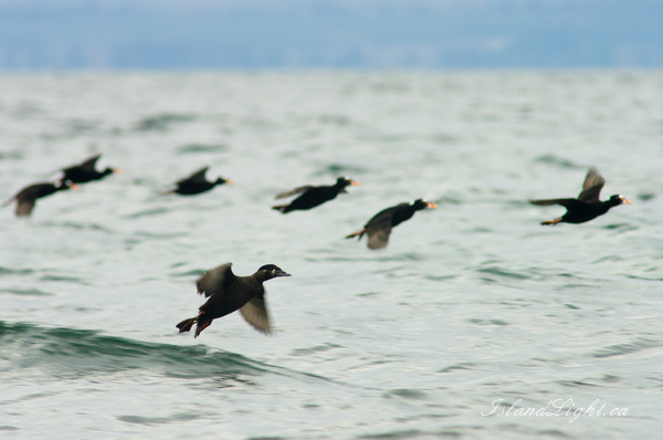 Bird  photo from  Salish Sea, BC Canada.