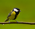 Great Tit - Bird  photo from  Aillevillers Haute-Saone, France