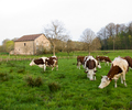 Our Neighbors - Cow photo from  Aillevillers France