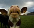 Aillevillers Cow photo