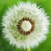 Aillevillers Dandelion photo