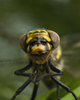 Aillevillers Dragonfly photo
