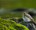 Aillevillers Wagtail photo