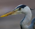 Amsterdam Gray Heron photo