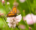 Aillevillers Butterfly photo