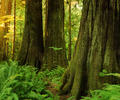 Giant Red Ceders at Cathedral Grove - Red Ceder photo from  Cathedral Grove British Columbia, Canada