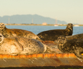 Comox Harbour Seal photo