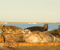 Comox Seal photo