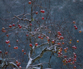 Winter Apples - Apple Tree photo from  Cortes Island BC, Canada