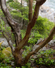 Cortes Island Arbutus Tree photo