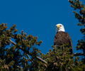 Cortes Island Bald Eagle photo
