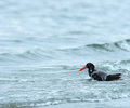 Bathing Oystercatcher - Bathing Oystercatcher photo from  Cortes Island British Columbia, Canada