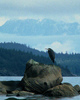 Cortes Island Blue Heron photo