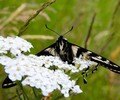 Cortes Island Butterfly photo