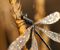 Cortes Island Damselfly photo