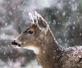 Blacktail Deer in Snowstorm - Deer photo from  Cortes Island BC, Canada
